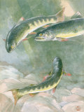Painting of a Trio of Dolly Varden Trout Photographic Print by Hashime Murayama