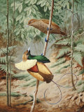 Male Magnificient Bird of Paradise Dances on Sapling for Female Photographic Print by Walter Weber