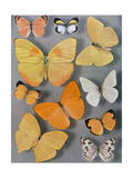 Collection of Butterflies Photographic Print by Willard Culver