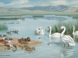 Several Species of Ducks, Coots, and Swans Share a Sanctuary's Lake Photographic Print by Walter Weber