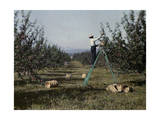 Man Picks Apples Popular with Cities in the East Photographic Print by Clifton R. Adams
