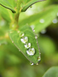 Jewel-Like Raindrops on a Saint John's Wort Leaf Photographic Print by  White & Petteway