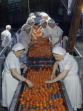 Tomato Factory Workers Remove Bruised Fruit from a Conveyor Belt Photographic Print by Joseph Baylor Roberts