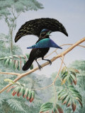 Lesser Superb Bird of Paradise Opens His Feathered Shield and Cape Photographic Print by Walter Weber