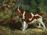 Welsh Springer Spaniel Holds a Dead Bird in its Mouth Photographic Print by Walter Weber