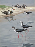 Black-Necked Stilts Wade Past Black Skimmers Standing on Shore Photographic Print by Walter Weber