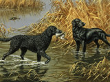 Curly-Coated and Flat-Coated Retrievers Retrieve Ducks in a Marsh Photographic Print by Walter Weber