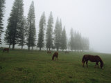 Horses Graze in Fog Near a Stand of Norfolk Island Pine Trees Fotografisk tryk af Paul Chesley