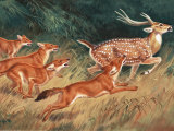 Pack of Dholes Chase a Deer Photographic Print by Walter Weber