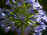 Close View of a Purple African Lily Flower Photographic Print by Stacy Gold
