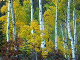 Beautiful Aspen Grove in Autumn, Aspen, Colorado Photographic Print by Charles Kogod