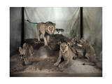 Five Lions on Display in a Museum are Shown with a Natural Setting Photographic Print by Charles Martin