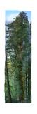 300 Foot Redwood Tree, 84 High Definition Photos Stitched Together for Save the Redwoods League Photographic Print by Nick Nichols