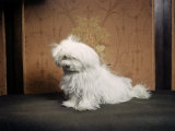 Portrait of a Maltese Dog Photographic Print by Willard Culver