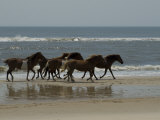 Wild Horses Run on the Beach in Assateague, Maryland Photographic Print by Stacy Gold