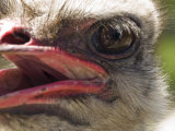 Close View of an Emu's Face Photographic Print by Stacy Gold