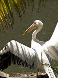 Close View of a Pelican Photographic Print by Stacy Gold