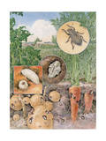 Painting of Larva, Pupa, and Adult Stages of a White-Fringed Beetle Photographic Print by Hashime Murayama