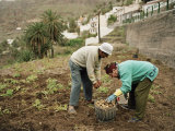 Old Couple Gathering Potatos in a Small Garden on the Island of La Gomera Photographic Print by  xPacifica
