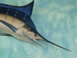 Stuffed Marlin Hanging at the Errol Flynn Marina Photographic Print by Michael Melford