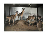 Hartebeests in an Artificial Sub-Saharan Africa Exhibit Photographic Print by Charles Martin