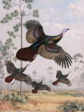 Flushed Out of Hiding, Wild Turkeys Take Flight Near Tall Pine Trees Photographic Print by Walter Weber