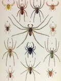 Painting of a Variety of Spider Species Photographic Print by Hashime Murayama