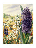 Painting of Grape, Roman, and Common Hyacinths and Star-Of-Bethlehem Giclee Print by Else Bostelmann