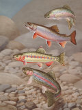 Four Species of Trout, Rarely Seen Together, Depicted in Wind River Photographic Print by Walter Weber