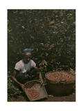 Coffee Picker Rests with a Basket of Berries Photographic Print by W. Robert Moore