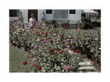 Young Woman Stands in a Pathway Lined with Brightly Colored Zinnias Photographic Print by Edwin L. Wisherd