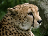 Male Cheetah with a Beautiful Lush Coat of Spotted Fur Photographic Print by Jason Edwards