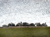 Turtles Warm Themselves on a Lake Bank in Naples, Florida Photographic Print by O. Louis Mazzatenta