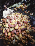 Color of Cacao Seed Pods Determine Age and Variety Photographic Print by Luis Marden