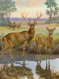Barasingha are the Largest Members of the Deer Family Photographic Print by Walter Weber