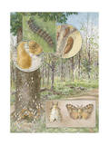 Painting of the Life Cycle of a Gypsy Moth Photographic Print by Hashime Murayama