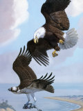 Bald Eagle Bullies Osprey in Flight to Force it to Give Up its Catch Photographic Print by Walter Weber