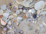 Cluster of Shells Lie on a Beach Photographic Print by Stacy Gold