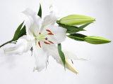 White Lily and Buds Fotografisk tryk af James Forte