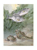 Pair of Male Rubberlip Perches Swim Above Two Marbled Sculpins Photographic Print by Hashime Murayama