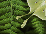 Luna Moth Resting on a Fern, its Eye Spots and Long Tail Visible Photographic Print by White & Petteway