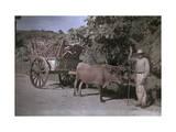 Puerto Rican Man Poses with His Bull-Cart Filled with Sugar Cane Fotografisk trykk av Charles Martin