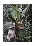 This Young Boy Is Looking at the Tree's Banana Blossoms Photographic Print by Wilhelm Tobien