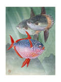 Ocean Sunfish Bask Lazily Near the Surface of the Open Sea Photographic Print by Hashime Murayama
