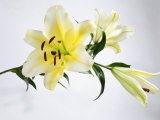 White and Yellow Lily with Buds Photographic Print by James Forte