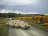 Corriedale Sheep, Raised for Wool and Mutton, are Lead to Market Photographic Print by Howell Walker