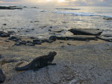 Marine Iguana on a Rocky Beach at Twilight Photographic Print by Annie Griffiths Belt