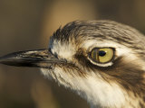 Close Up Bush Stone Curlew Nictitating Membrane over Eye Photographie par Tim Laman