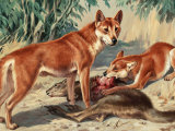 One Dingo Stands Guard as His Mate Feeds on a Kangaroo Carcass Photographic Print by Walter Weber