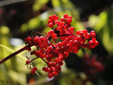 Bright Bunch of Elderberries Seem to Glow in Autumn Sunlight Photographic Print by George Herben